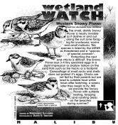 Snowy Plovers