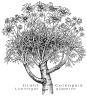 Coreopsis