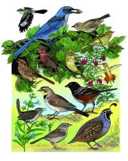 BIRD ENÎEMIC Channel Island.color