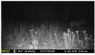 COYOTES HOWLING YouTube