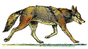 Trotting coyote