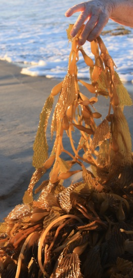 giant-kelp-detail